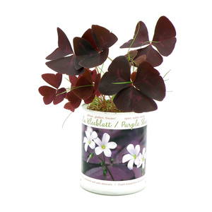 Lila Klee - Triangularis - Purple Butterflies - 5 Blumenzwiebeln - MacFlowers