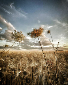fields of gold - Postkarte/ Geschenkkarte/ Fotokarte (gedruckt auf Naturpapier) - Burst