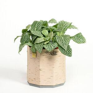 Übertopf / Pflanztopf / Blumentopf aus Birkenrinde für Kräuter und Zimmerpflanzen - MOYA Birch Bark