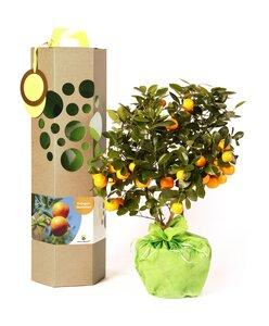 Orangenbaum mit Früchte als Geschenk - SchenkeinBäumchen