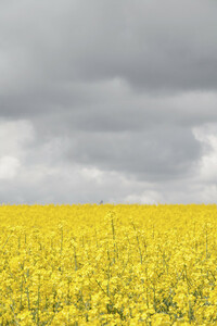 Grey and yellow fields - Poster von Studio Na.hili - Photocircle