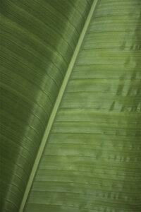 Green Banana - Poster von Studio Na.hili - Photocircle