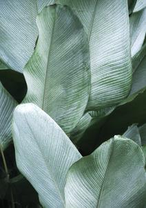 Tropical Silver Leaves - Poster von Studio Na.hili - Photocircle