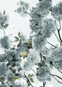 Whihte Spring Blossoms - Poster von Studio Na.hili - Photocircle