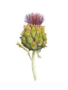 Mantika Botanical Artischocke - Poster von Christina Wolff - Photocircle