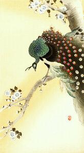 Pfau auf einem Kirschblütenbaum von Ohara Koson - Poster von Japanese Vintage Art - Photocircle