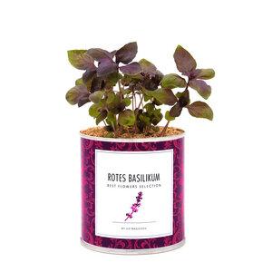 Pflanzen in der Dose - rotes Basilikum / Basilico rosso - MacFlowers