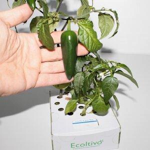 Scharfe Peperoni Zucht für zuhause - Ecoltivo