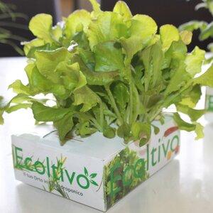Grüner Salat Hydrokultur - Ecoltivo