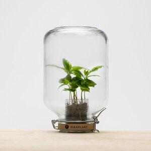 Jar Coffea arabica - Pikaplant