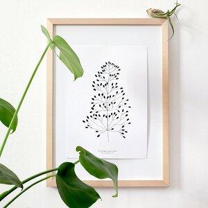 Botanischer Druck Felsenstraußgras - karamelo